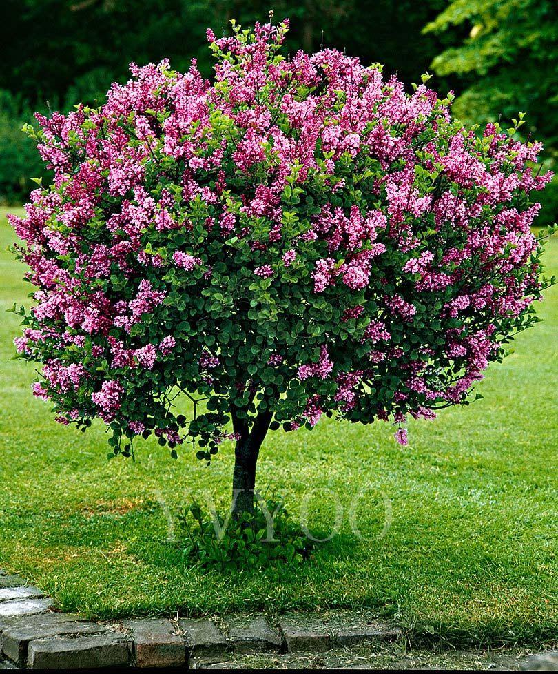 Albero Di Lillà acquista semi di lillà giapponesi semi di semi di fiori di bonsai molto  profumati 50 particelle / lotto k013 a 2,02 € dal yongbo | dhgate
