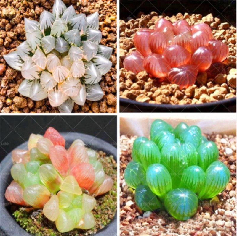 100 pcs Rare Cristal Clair Beauté Succulentes Graines Facile à Cultiver Plante Ornementale Plante pour la maison jardin Cour Livraison Gratuite