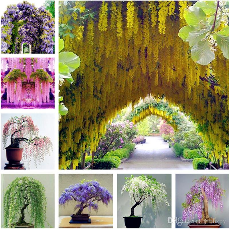2021 Sale Wisteria Seeds Bonsai Flower Seeds Wisteria Tree Plant Perennial Flowers Climbing Growth For Home Garden From Ymhzpy 0 71 Dhgate Com
