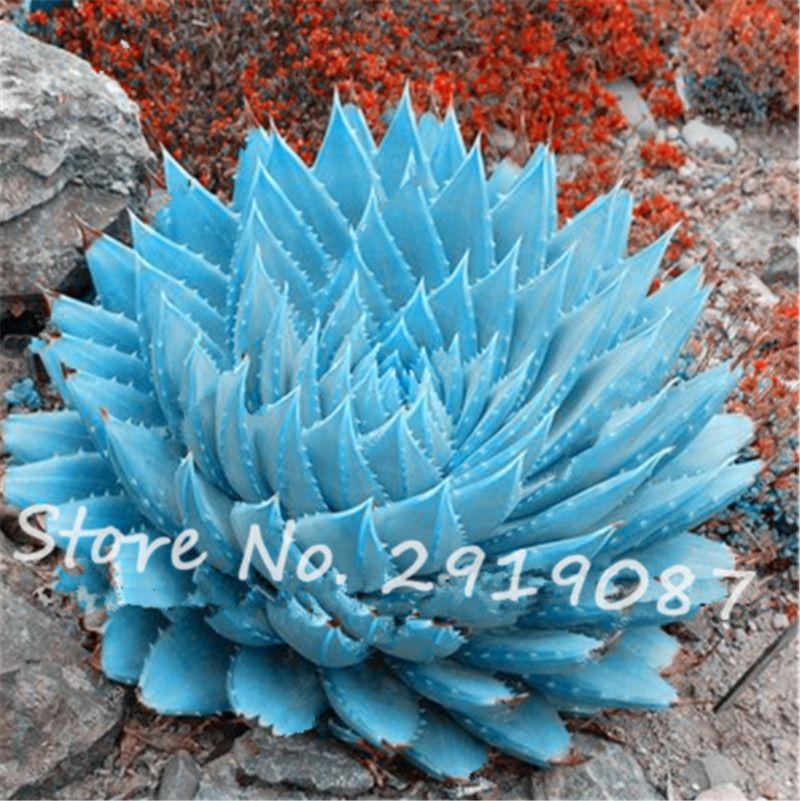 200 Pcs / sac Rare Blue Cactus Graines Variété Exotique Floraison Parfaite Couleur Cactus Rare Cactus Aloe Seed Office Plant Succulent Jardin Plantation