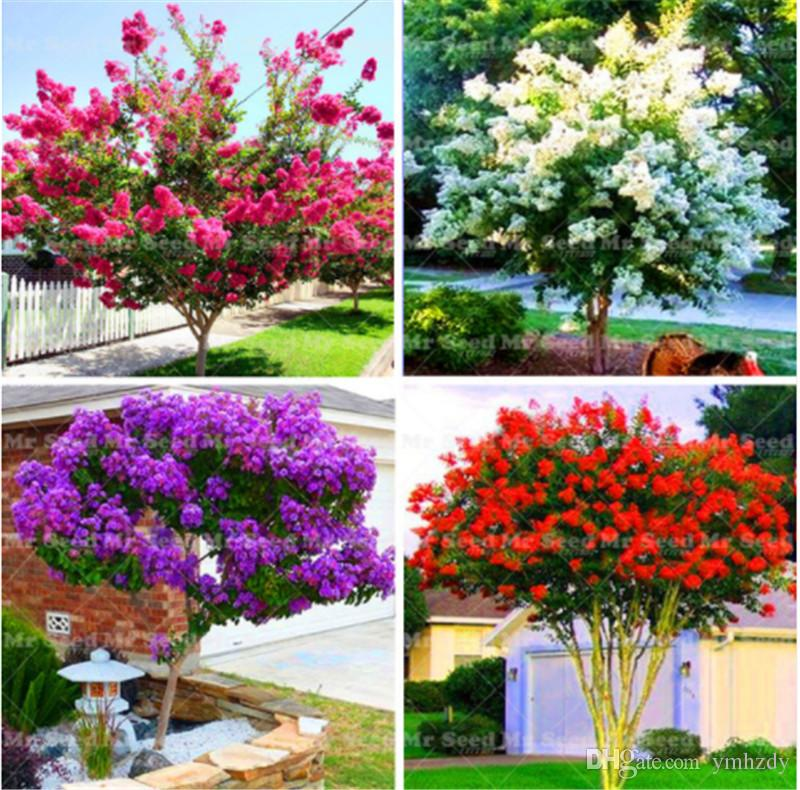 100 pcs Myrte Crape -Shrub Lagerstroemia Graines De Fleurs Vivaces Courtyard Myrtle Fleurs D'escalade Pour Diy Maison Jardin Plante