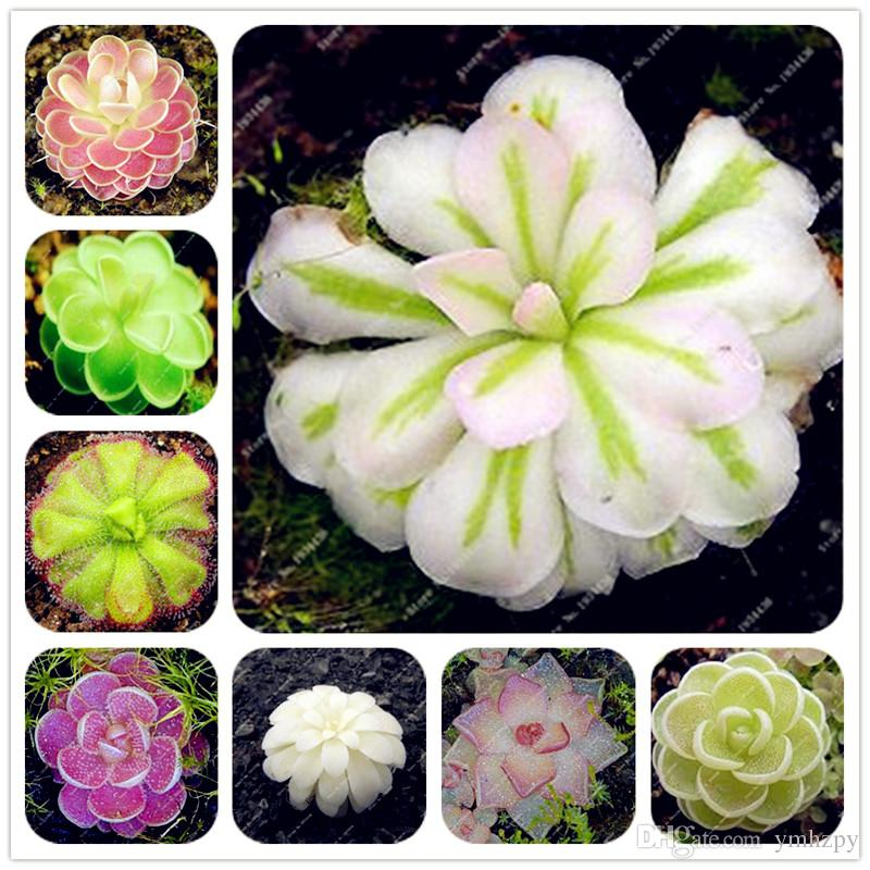 100 seeds Potted Insectivorous Plant Seeds Dionaea Muscipula Giant Clip Flytrap