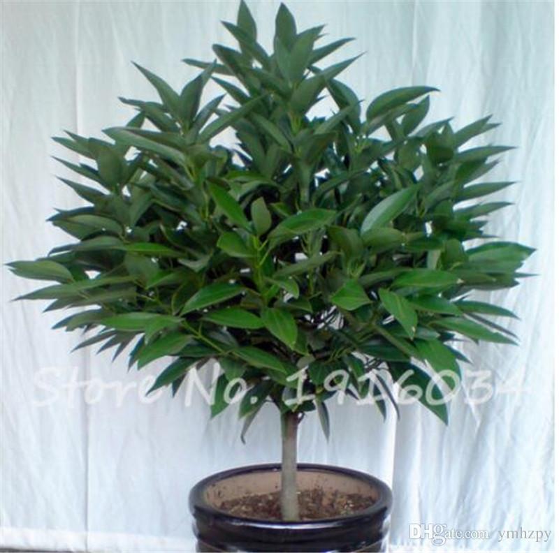 Compre Venta Caliente 5 Semillas Semillas De Canela Japonesa Planta De Jardín En Casa Muy Fácil Crecer Bonsai Semillas De árboles De Interior Para La Venta Envío Gratis A 0 34 Del
