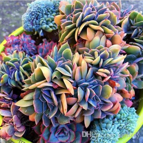 Best-Selling 100 pcs Japonais Succulentes Graines Rare Intérieur Fleur Mini Cactus Graines Fleshier Plant Polygon Fleur Graines À Vendre