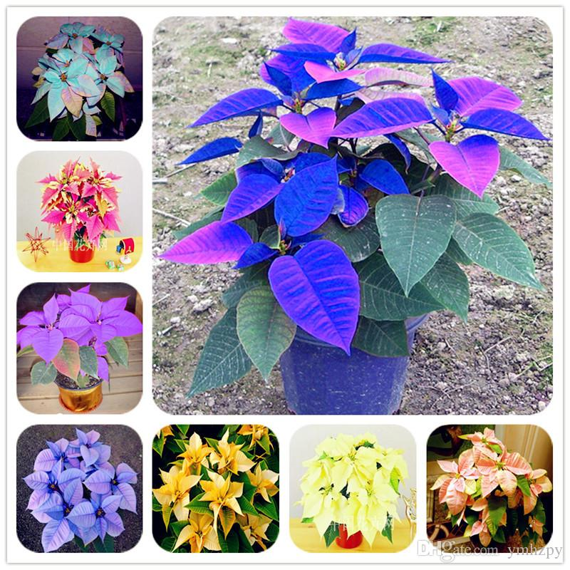 Exotic Seeds Gift Idea seeds for Decorative Garden Plant Sleeping Tree