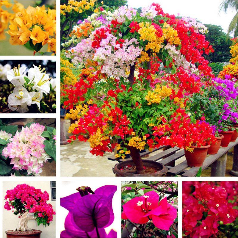 Il trasporto libero 100 pz / borsa, semi di bouganville, semi in vaso, semi di fiori, varietà completa, il tasso germogliamento del 95%, (colori misti)