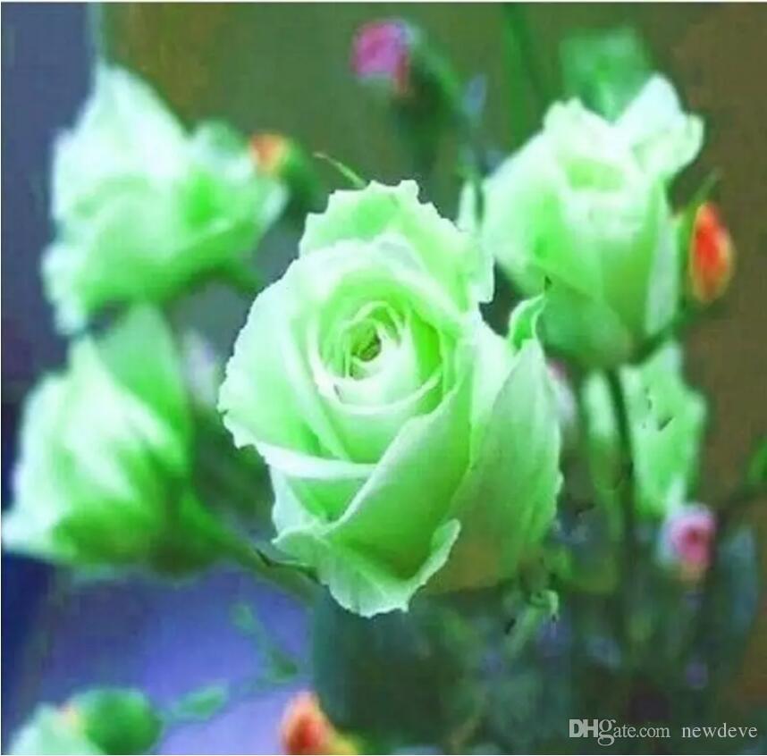 Зеленый и красный розовый цветок семена балкон в горшками барьерные семена бонсай цветы семена садовые растения 100 штук на упаковку бесплатная доставка