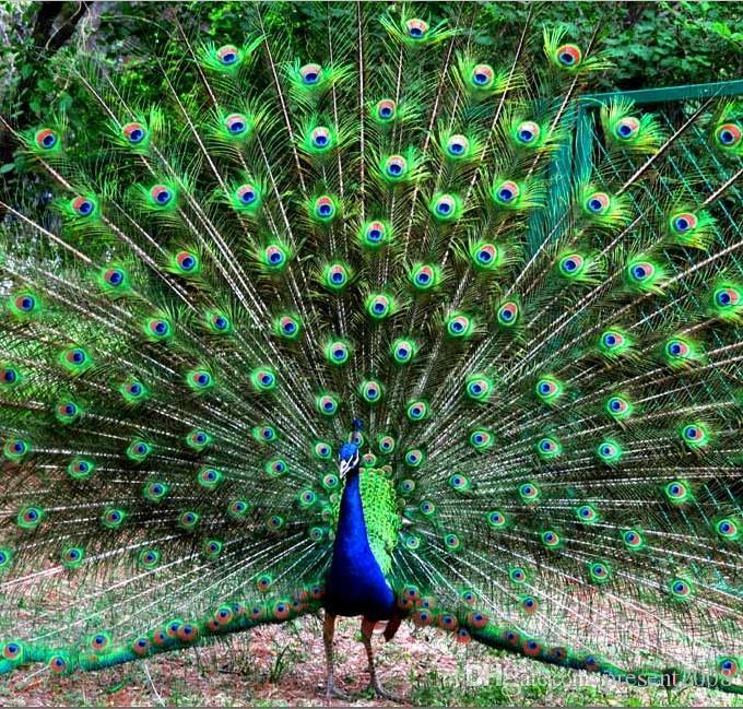 matériaux de décoration élégante réel naturel de plume de paon belles plumes sur 25 à 30 cm Livraison gratuite