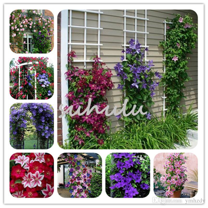 USA-Seller 100pcs//lot Mix Beautiful Clematis Seeds Bonsai Flower Seeds