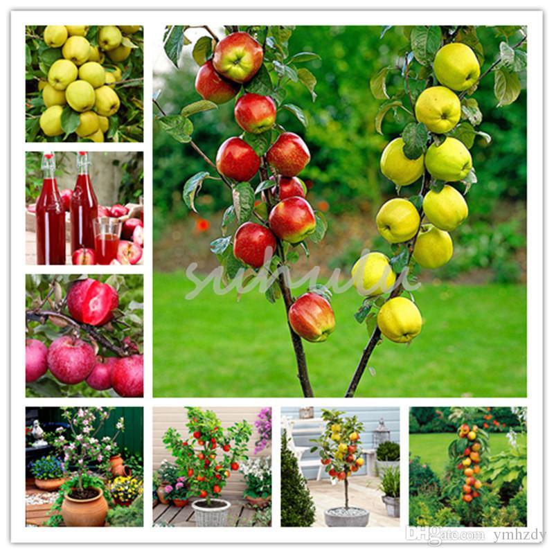 100 Pcs Bonsai pommier Graines Rare Fruits Bonsaï - Pomme Red Delicious Dwarft Bonsai Garden Flower Pot Planters
