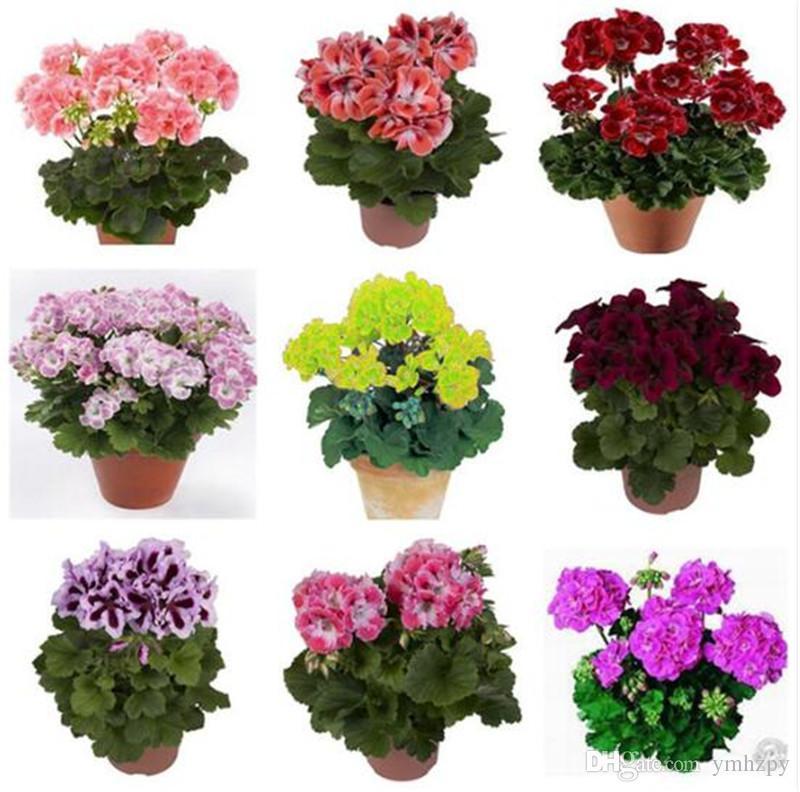 20 Pcs/Bag 100% True Geranium Seeds Potted Balcony Planting Seasons Pelargonium Potted Flower Seeds for Indoor Bonsai Mixed Color