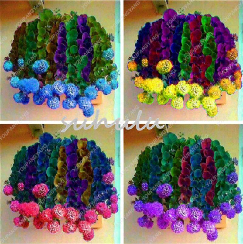 Les meilleures ventes de Succulentes rares Graines Mélangé Cactus Flower Garden Seeds arc-en-pourpre Cactus-oignon Bonsai Fleurs Plantes graines fraîches Air 100pcs