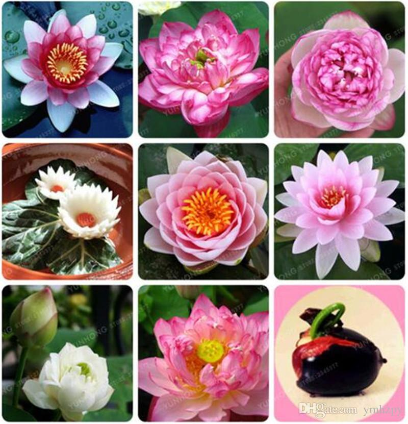 edible roots LARGE//TALL Type Lotus plant with larger seeds 3x Pink LOTUS seeds