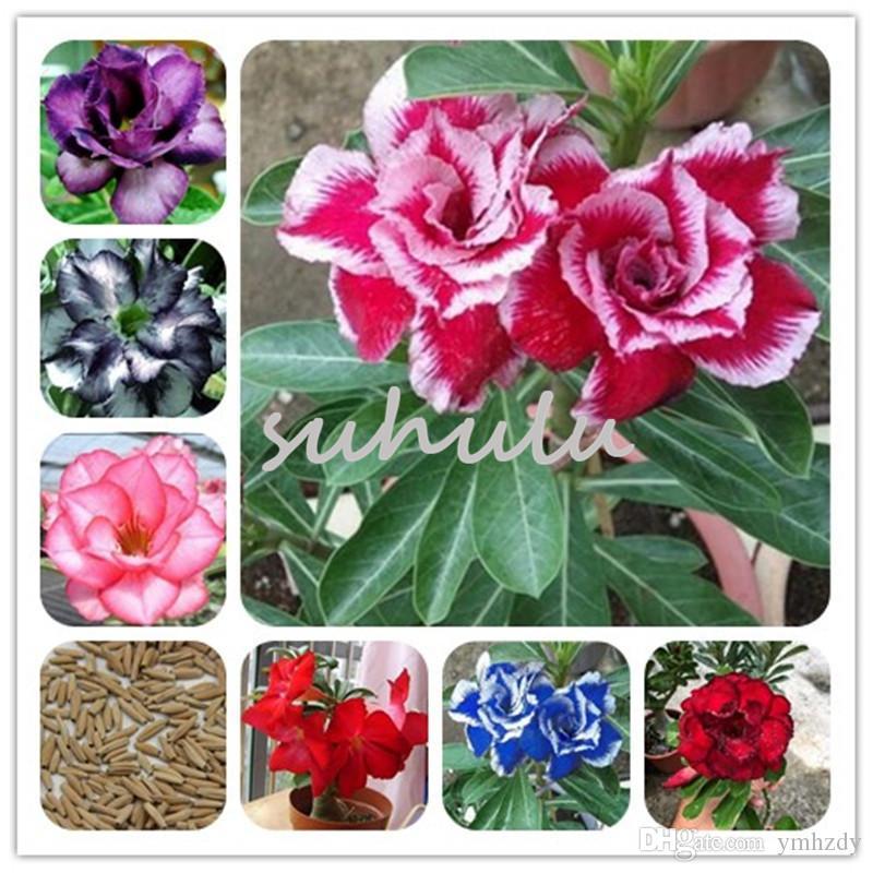 Nouveau ! Mélange Rare Desert Rose Graines Réel Thaïlande Adenium Obesum Graines Plantes Ornementales Balcon Plante En Pot Mini Arbre Fleur Géante 2 Pcs