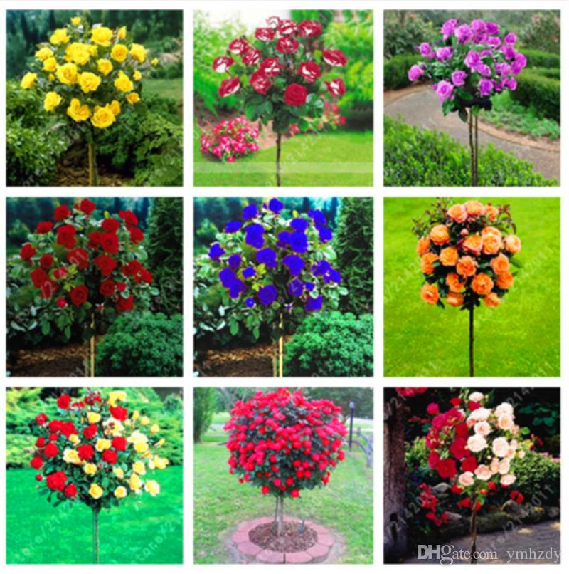 100PCS Lovely Rose Tree Plant Seeds Beautiful Flowereasy To Grow Ideal DIY Home