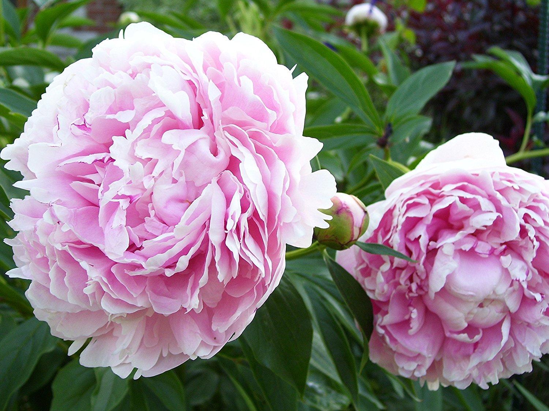 Van Zyverden Peonies Sarah Bernhardt Set of 5 Roots