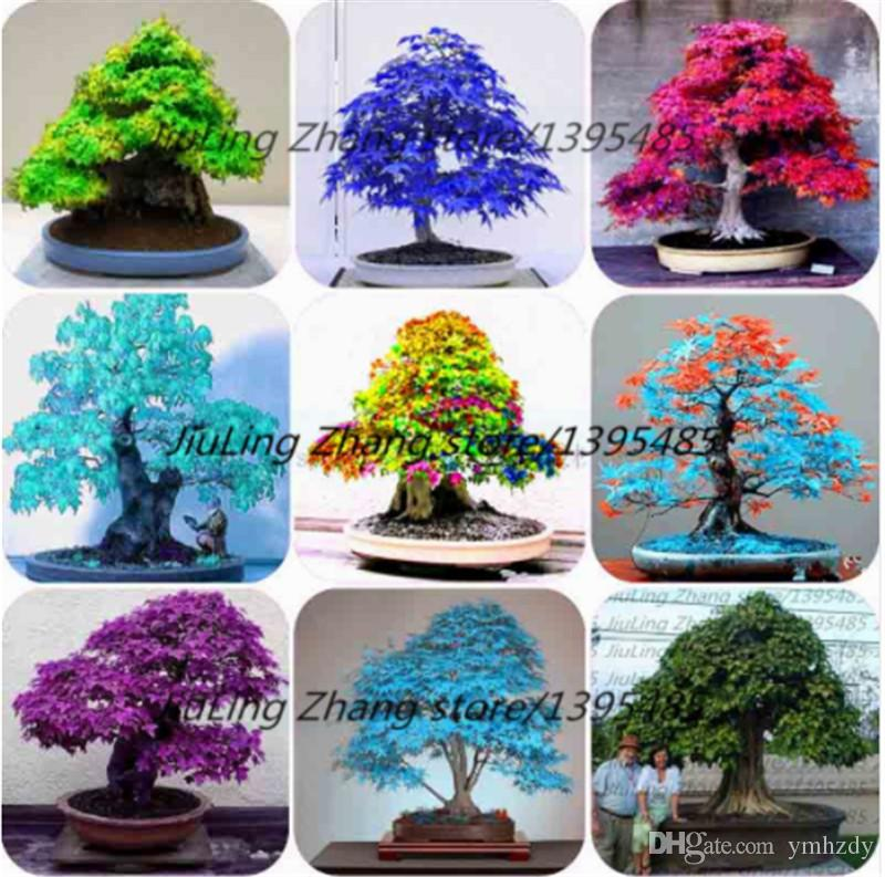 2021 100 True Bag Japanese Red Maple Bonsai Tree Cheap Seeds Very Beautiful Indoor Bonsai Tree Plants Pot Suit For Diy Home Garden From Ymhzdy 1 15 Dhgate Com