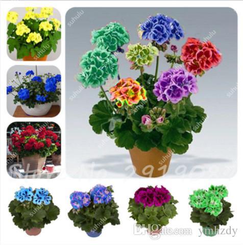 50 Pcs Bonsai Two-Color Geranium Seeds Perennial Flower Seeds Pelargonium Peltatum Flower Potted Plant Seed Light Up Your Garden