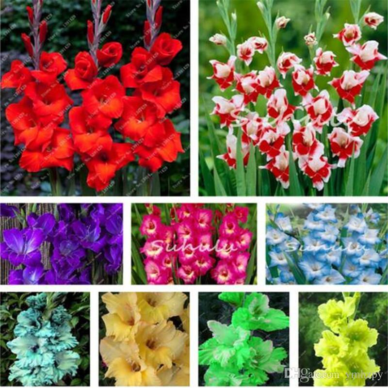 100 unids / bolsa Perennial Gladiolus Flower Seeds, Rare Sword Lily Seeds para DIY INICIO plantación de jardín Aerobic maceta plantas decoración