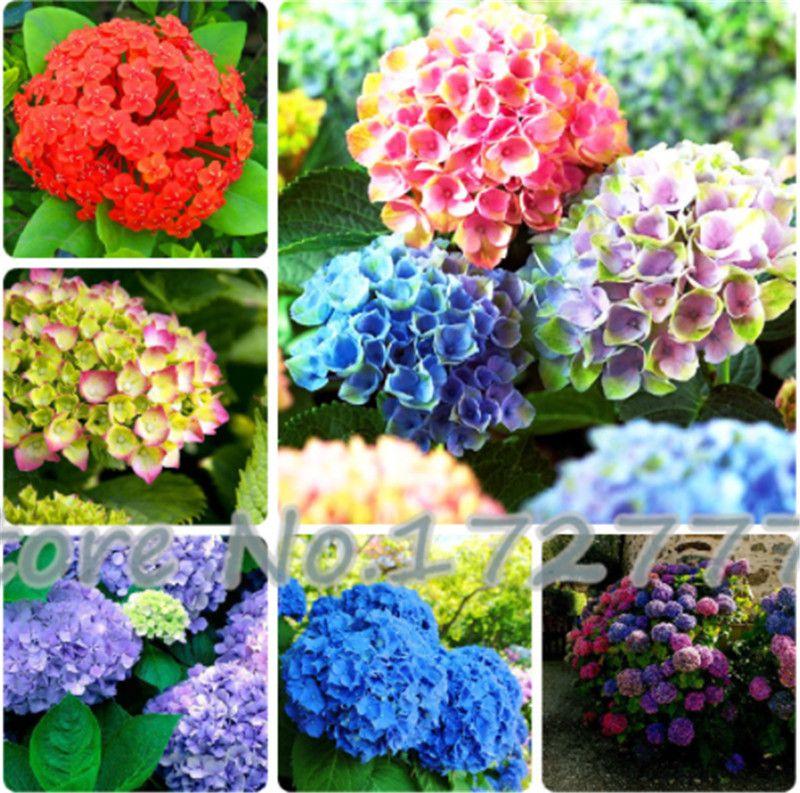 Rare Color Mixed Hortensia Graines De Fleurs Embellir The Environmen Home Garden Balcon Bonsai Fort Viburnum 200 Pcs