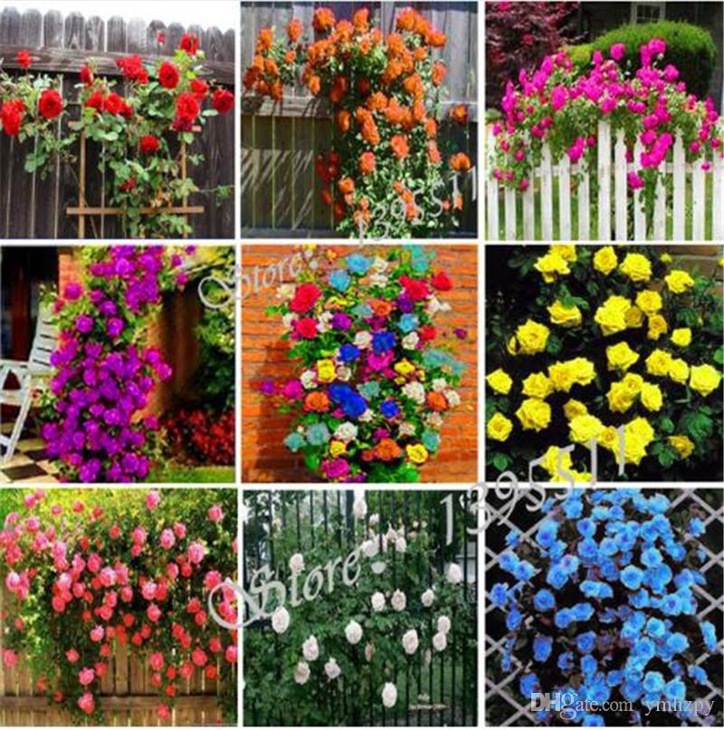 100 pcs Thailand Climbing Beautyful Rose seeds, rare plant rose seeds, bonsai Potted Flowering Plants for Home Garden