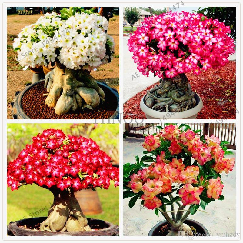 100% True Adenium Obesum Graines 4 Pcs Mélange Désert Rose Graines Plantes Ornementales Balcon Bonsaï Belle Fleur Pour La Maison Jardin Plantation
