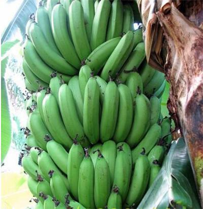 Lot de 100 graines de banane en peau bleue rare pour la maison et le jardin b98b