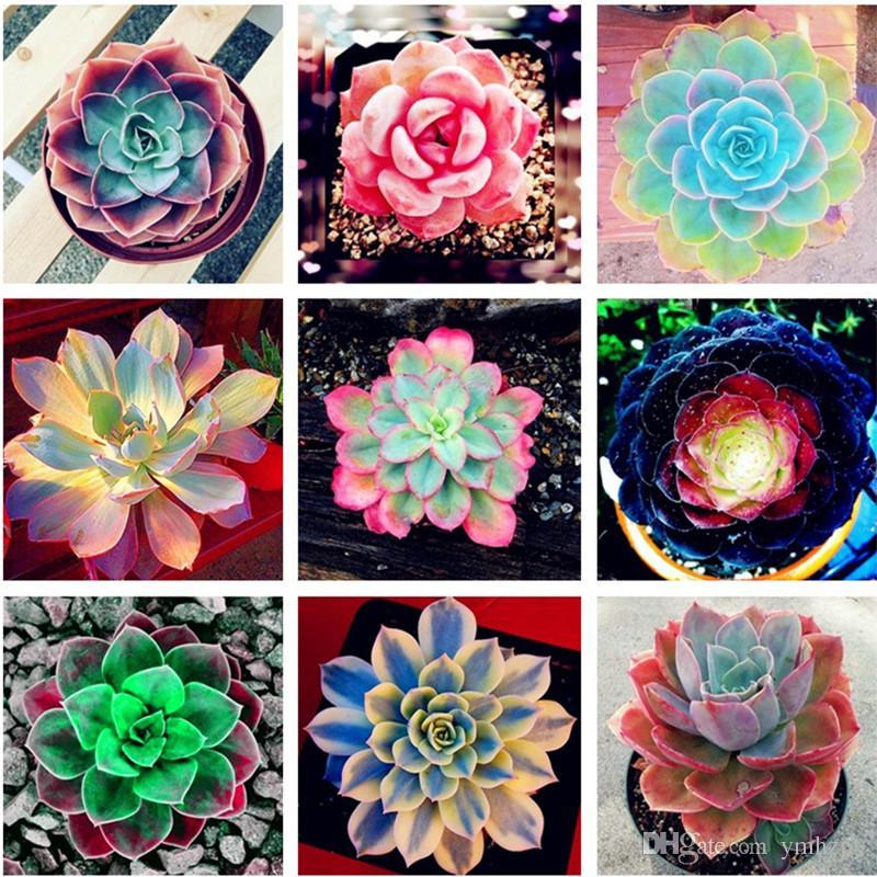 Venta caliente 100 Unids Planta Verde Bonsai / Maceta Casa Balcón Decoración Flor Decorativa Plantas Suculentas, Color Raro Semillas Suculentas