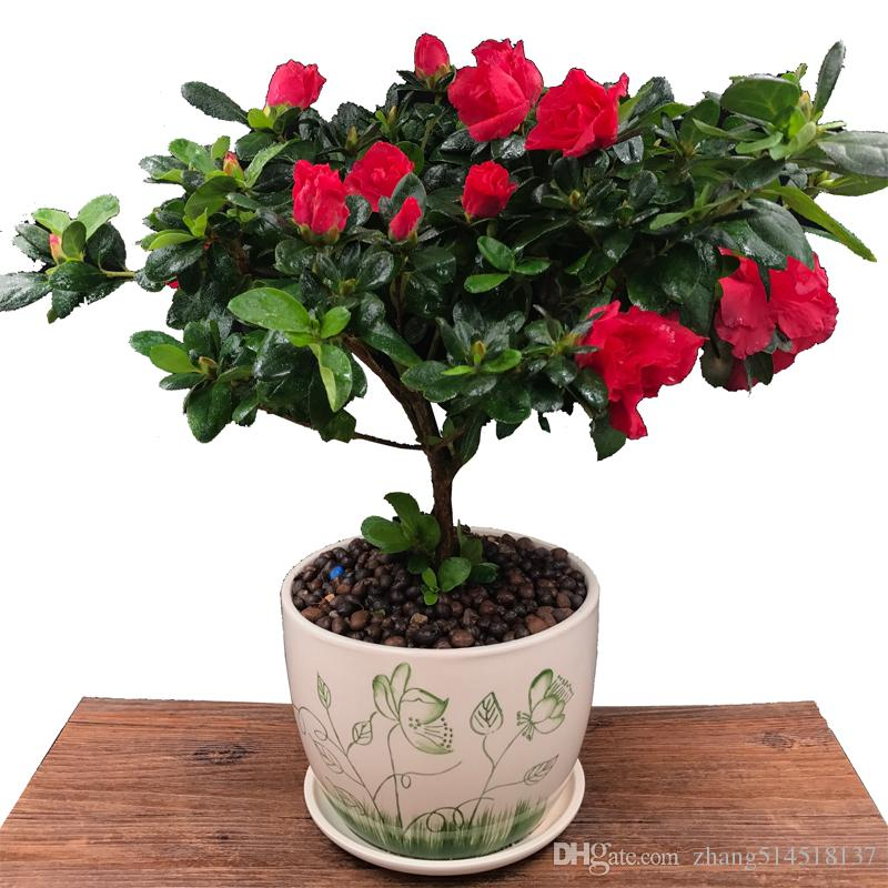 30pcs Four seasons Rhododendron seeds rhododendron flowers seeds seedlings courtyard balcony potted plants are easy to grow flowers and gras
