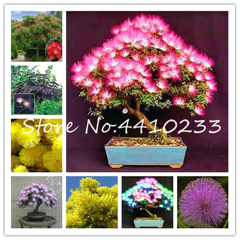 2020 Bonsai Plant Seeds Bright Albizia Flower Bonsai Called Mimosa Silk Dwarf Tree Bonsai Rare Garden Potted Plants Rainbow Flowers Pot From Ymhqw1 1 21 Dhgate Com