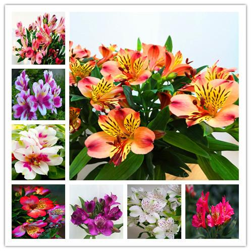 2020 Bonsai Hot Peruvian Lily Bonsai Alstroemeria Flower Mix Color Beautiful Flower For Home Garden Plants From Ymhqw1 1 06 Dhgate Com