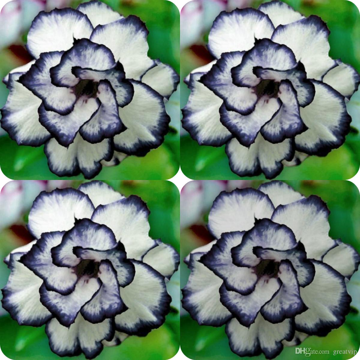 100 Pieces Rare Black White Desert Rose Seeds Adenium Obesum Flower Perennial Exotic Plants Flower Seeds Bloom Balcony Garden Yard