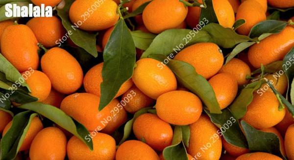 Vente chaude 50pcs Kumquat Bonsai p [graines lant orange Balcon Patio pot Beaucoup d'arbres fruitiers savoureux Juicy orange plante pour la maison et le jardin Plantation