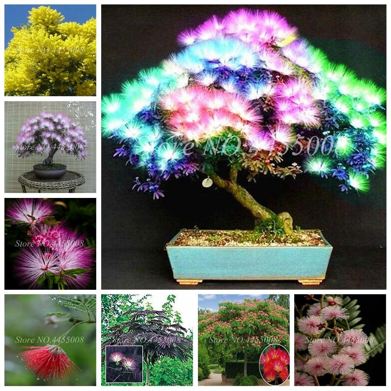 2021 Bag Seeds Japanese Acacia Bonsai Tree Albizia Julibrissin Durazz Perennial Indoor Outdoor Flowers Pot Plant For Home Garden From Ymhzpy 1 1 Dhgate Com