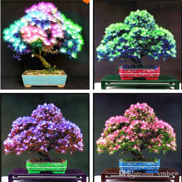 2020 2019 New Rainbow Albizzia Acacia Flower Bonsai Balcony Indoor Tree Albizzia Flower Potted Plants For Home Garden Decor From Ymhqw 2 27 Dhgate Com