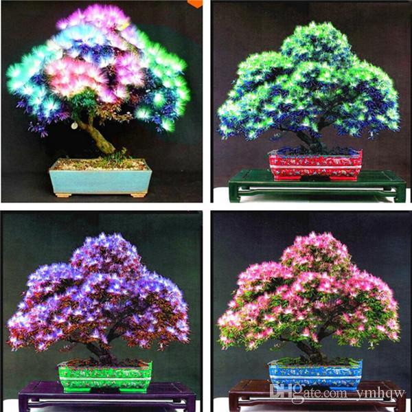 2019 Nuovi 50 pezzi Arcobaleno Albizzia Acacia Fiore Bonsai, Balcone Albero da interno Albizzia Fiore Piante in vaso per la decorazione del giardino di casa