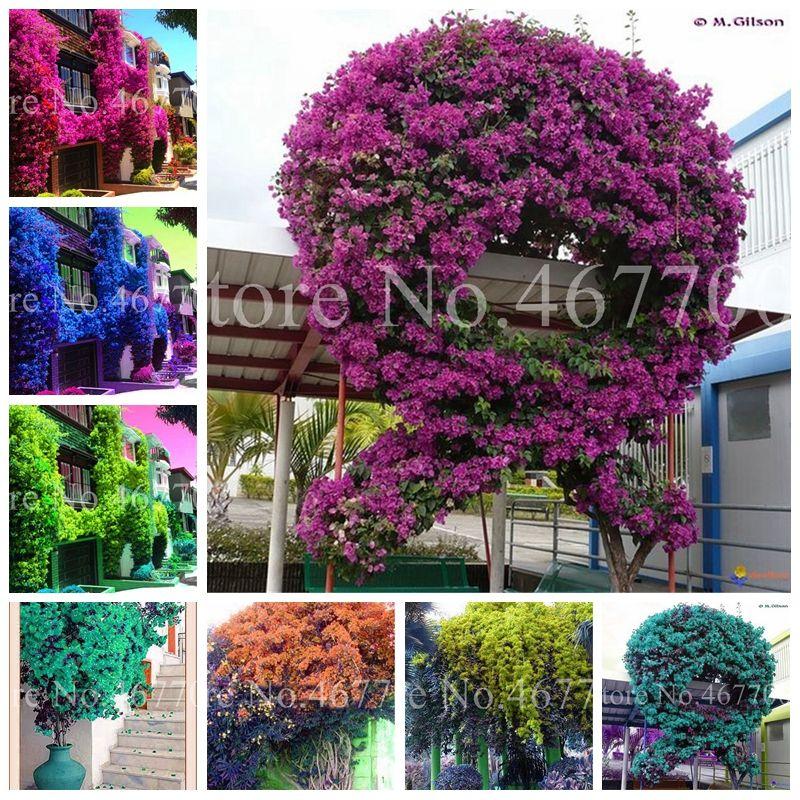 200 pezzi semi bonsai arrampicata colorata bougainvillea spettabilis wild pianta all'aperto perenne fiore giardino pentola pianta facile da crescere