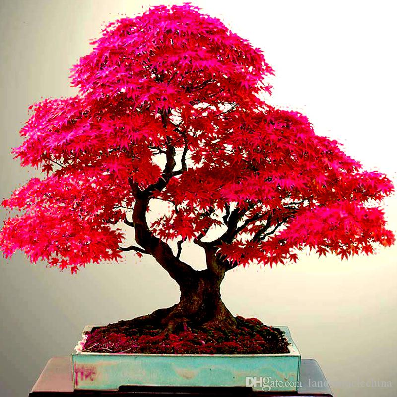 2021 Real Japanese Ghost Red Maple Tree Bonsai Seeds Acer Palmatum Atropurpureum Bonsai Sow All Year From Landmiraclechina 1 22 Dhgate Com