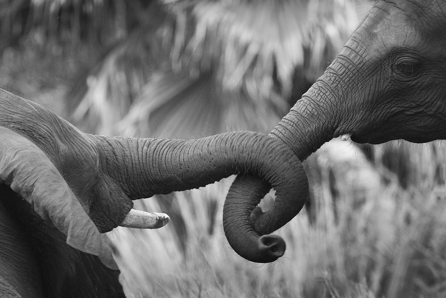 Black & White Mother and Baby Elephant Art Silk Print Poster 24x36inch(60x90cm) 088