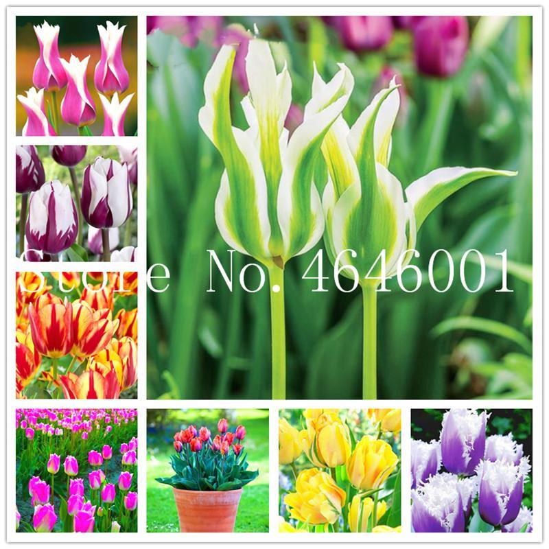 100 Stück Mix Tulip Bonsai Samen selten Bonsai Blume planta Eis als schöne Tulpen vergossen ausdauernde attraktiv leuchten Ihren Garten