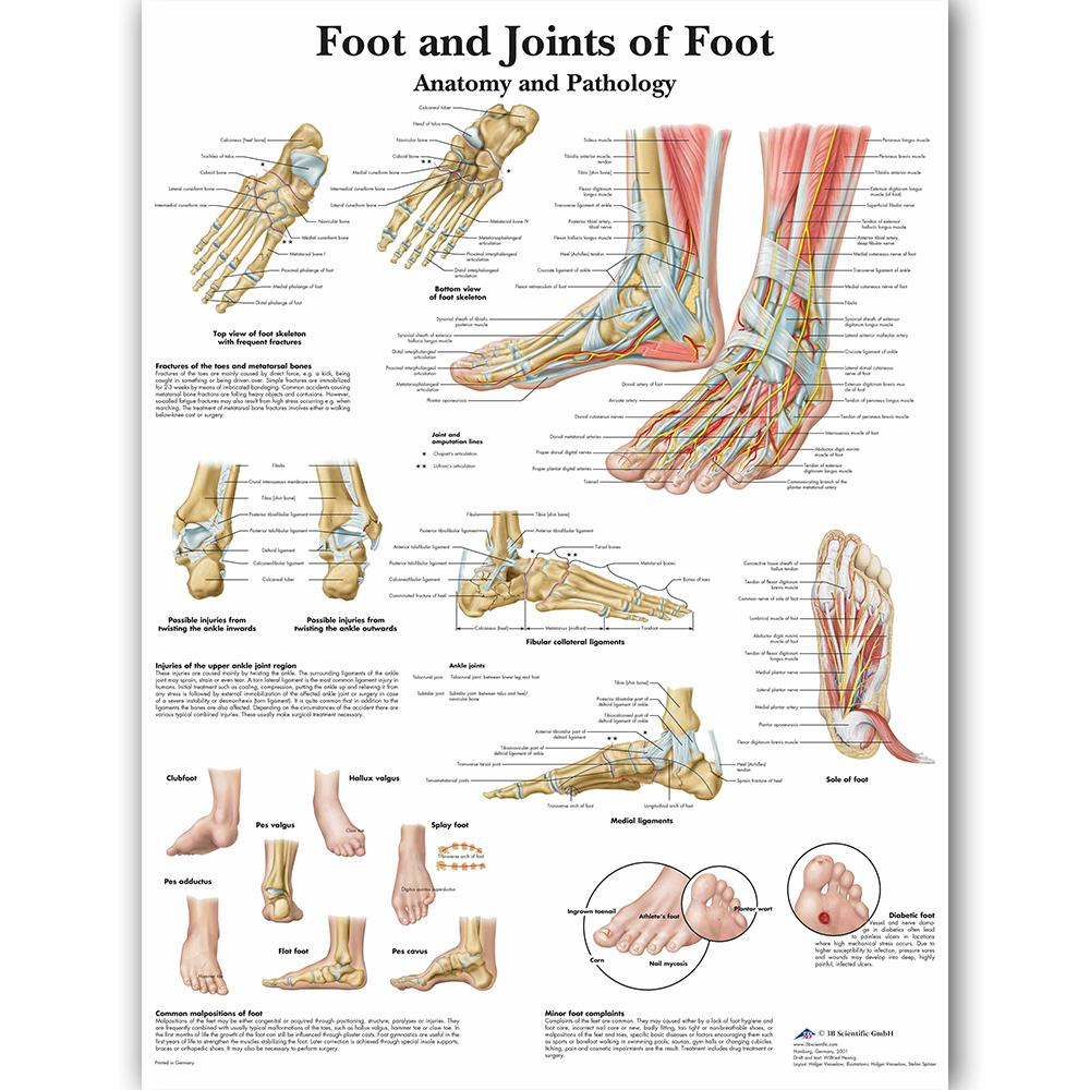 Joints Of Foot Chart Anatomy Pathology Poster Canvas Painting Wall Pictures For Medical Education Doctors Office Classroom J190707
