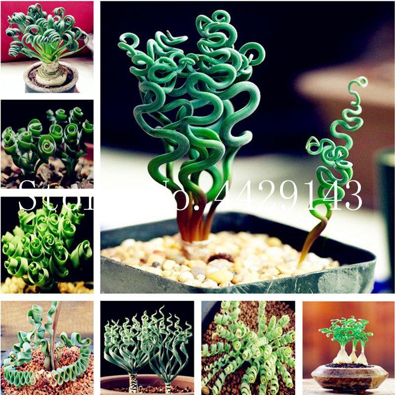 500 pcs printemps herbe en graines de plantes Succulentes herbe bricolage bonsaïs jardin Maison pot plantes exotiques spirale herbe ornementale Bonsai