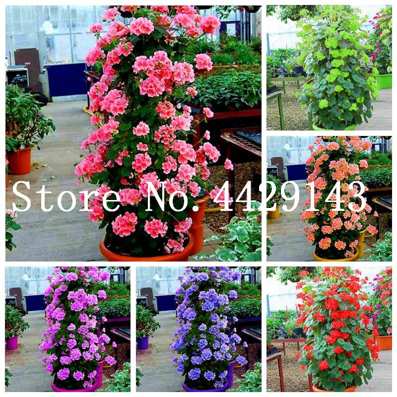 2020 Seeds Climbing Geranium Bonsai Potted Balcony Planting Seasons Pelargonium Potted Flower Bonsai For Indoor Bonsai Mixed Color From Ymhzdy 2 02 Dhgate Com