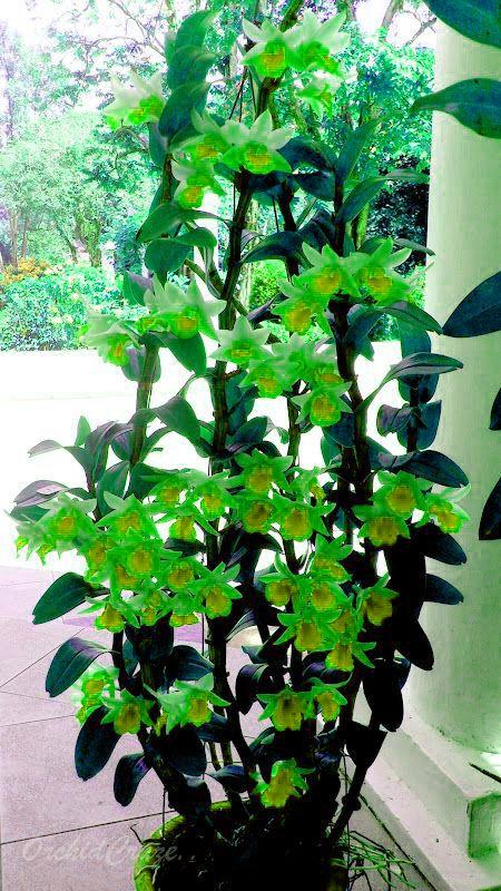 Piante Da Appartamento Rare.Acquista 60 Pz Semi Di Dendrobium Rhynchostylis Giapponese Rara