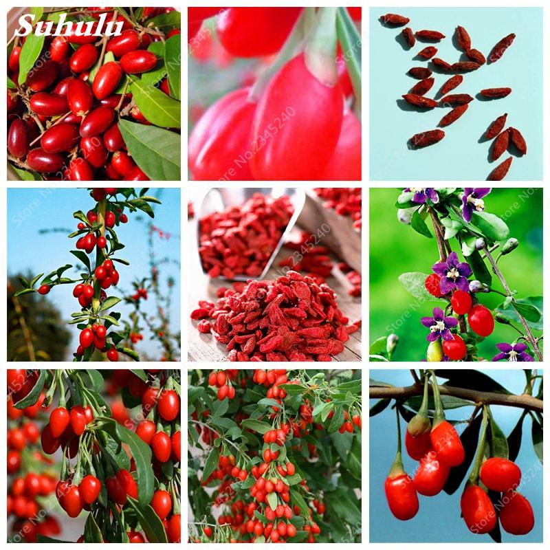 2020 Red Goji Berry Seeds Outdoor Bonsai Wolfberry Organic