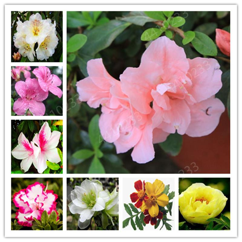 2020 Bonsai Bright Flower Japanese Azalea Seeds Bonsai Rhododendron Azalea Flower Bonsai Tree Plant Diy Garden Plant Easy Grow From Ymhqw1 1 11 Dhgate Com