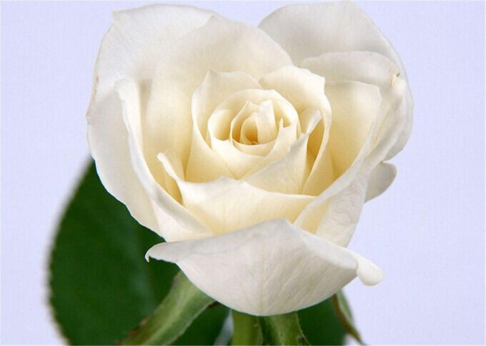 Spedizione gratuita rosa bianca Seeds * 50 Pezzo semi per pacchetto di nuovo arrivo Giardino Charme Ombre Piante (2bag / pack)