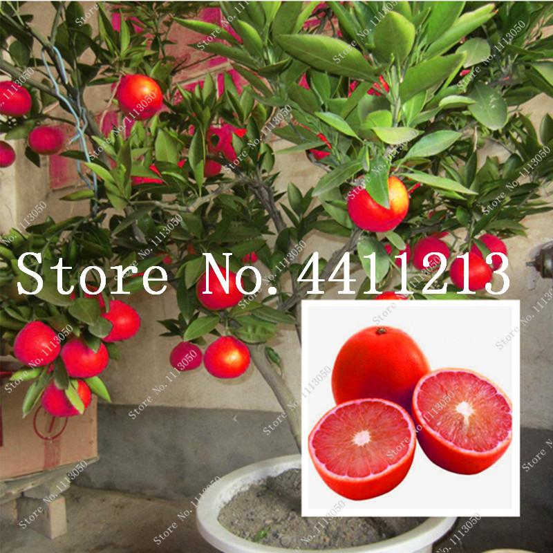 2021 Red Lemon Tree Also Is Blood Orange Organic Fruit Bonsai Plant Seeds High Survival Rate Bonsai Red Lime Plant Healthy Food Home Garden From Ymhzdy 1 2 Dhgate Com