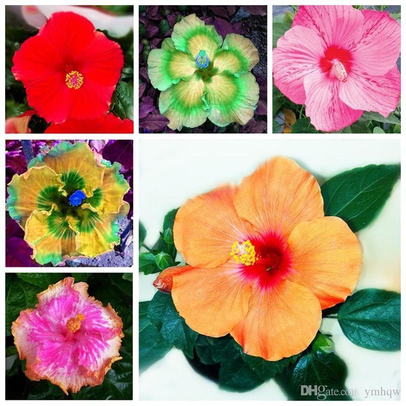 100 stücke Riesen Hibiskus Samen 24 arten Hibiskus Rosa-sinensis Blumensamen Mischungsfarbe Hibiskus Baum Samen Für Blumentopfpflanzen