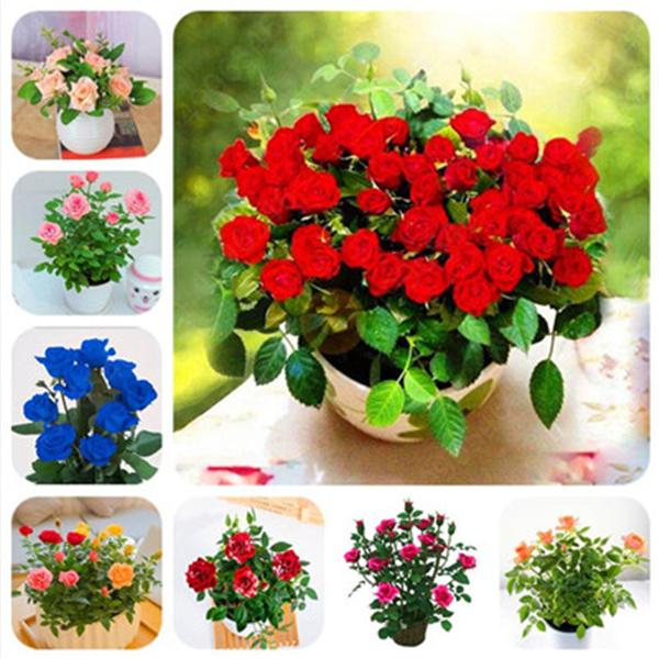 2021 Bag Mini Rose Bonsai Miniature Rose Plant Diy Home Garden Bright And Beautiful Potted Flowers Plant Balcony Bonsai Plant From Ymhqw1 1 16 Dhgate Com